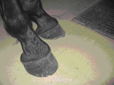 "A barefoot Tennessee Walker hoof, with normal or ""virgin"" pasterns."