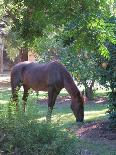 Feather, 29 years young owned by Myra Toth, Ojai, CA. 20 years after EPM, Feather is living a good life.